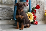Picture of Dolly / Miniature Pinscher