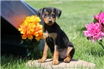 Picture of Micah / Miniature Pinscher
