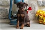 Picture of Donny / Miniature Pinscher