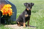 Picture of Major / Miniature Pinscher