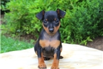 Picture of Abe / Miniature Pinscher