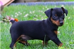 Picture of Anvil / Miniature Pinscher