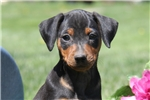 Picture of Max / Miniature Pinscher