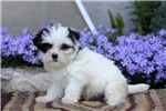 Picture of Cuddles / Maltese Mix