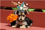 Picture of Lancelot / Yorkie-chon