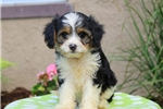 Picture of Melinda / Cavalier King Charles Mix