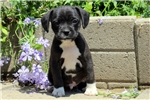 Picture of Tucker / Boston Terrier Mix