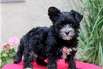 Picture of Trudy / Yorkie Mix