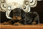 Picture of Holly / Yorkie Mix
