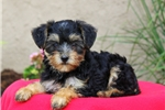 Picture of Tessa / Yorkie Mix