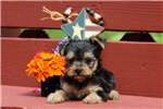 Picture of Linus / Yorkie-chon