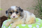 Picture of Mocha / Cavalier King Charles Mix