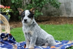 Picture of Taylor / Blue Heeler Mix
