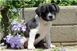 Picture of Taylor / Boston Terrier Mix
