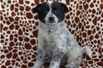 Picture of Buster / Blue Heeler Mix