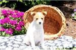Picture of Ellen / Pomeranian Mix