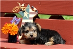 Picture of Lyla / Yorkie-chon