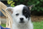 Picture of Tiny / Blue Heeler Mix