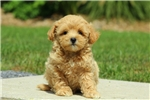 Picture of Betsy / Miniature Poodle Mix