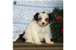 Picture of Snowball / Yorkie-Chon