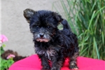 Picture of Tulip / Yorkie Mix