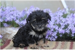 Picture of Chelsea / Maltese Mix