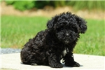 Picture of Buster / Miniature Poodle Mix
