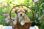 Fox Terrier, Smooth for sale