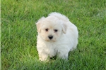 Picture of Sammy / Miniature Poodle Mix