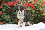 Picture of Willow / Blue Heeler Mix