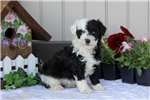 Picture of Lori / Miniature Poodle Mix