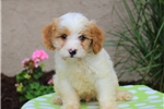 Picture of Merv / Cavalier King Charles Mix