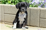 Picture of Tayla / Boston Terrier Mix