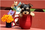 Picture of Luna-Teacup / Yorkie-chon