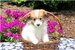 Picture of Effie / Pomeranian Mix