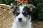 Picture of Tonya / Blue Heeler Mix