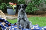 Picture of Tara / Blue Heeler Mix
