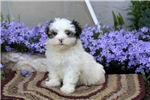 Picture of Chase / Maltese Mix