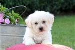 Picture of Skipper / Miniature Poodle Mix