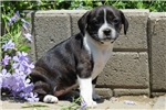 Picture of Tanisha / Boston Terrier Mix