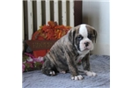 Picture of Christopher / EngAm Bulldog