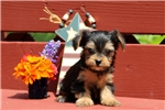 Picture of Leland / Yorkie-chon