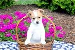 Picture of Eliza / Pomeranian Mix