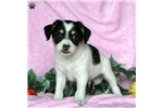 Entlebucher Mountain Dog for sale
