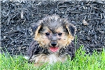 Picture of Gigi / Yorkie-Chon