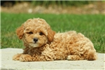 Picture of Billy / Miniature Poodle Mix