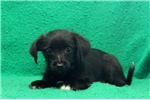 Picture of Molly / Papillon Mix