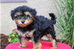 Picture of Twain / Yorkie Mix