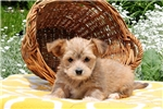 Picture of Moses / Morkie