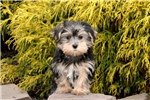 Picture of Rascal / Morkie